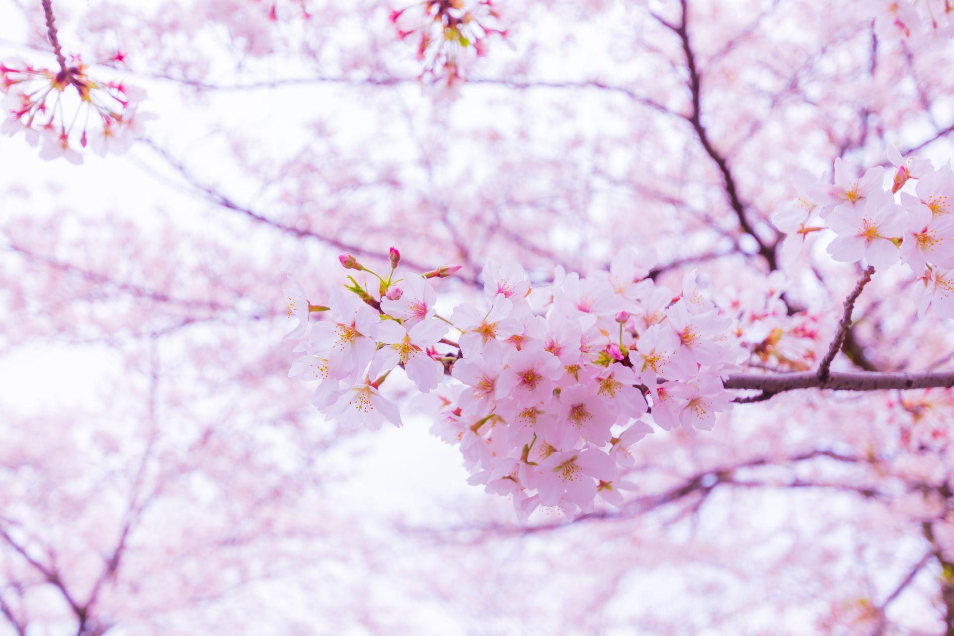 春の季語】『お花見』・『桜』にまつわる春の美しいことば一覧まとめ ...